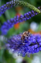 Summer Girl (farmspeedracer) Tags: nature summer bee juli july flower purple garden germany park 2018