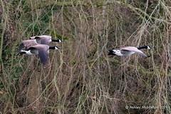 IMG_0313327 (Ashley Middleton Photography) Tags: coatewatercountrypark swindon animal bird canadagoose england europe goosegeese unitedkingdom wiltshire