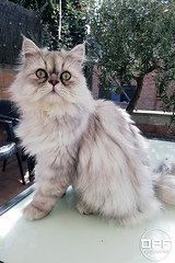 Neo (Escursso) Tags: cat cats gatos gat kitten kitty animal persa