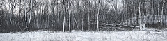 If a tree falls in a forest..... (Kevin Povenz Thanks for all the views and comments) Tags: 2016 february kevinpovenz westmichigan michigan ottawa ottawacounty ottawacountyparks grandravinesnorth outsode outdoors winter snow trees forest woods falen cold
