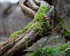 Fungi (Trombob) Tags: fungi nature countryside moss wood forrest woods