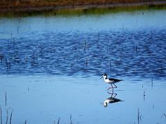Black Necked Stilt (sonstroem) Tags: bird birdwatching cosumnesriverpreserve centralvalley california nature natural blackneckedstilt himantopusmexicanus