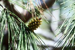 Pinecone buds 4 (benrokh) Tags: m50 stm canonm50 eosm50 55250 55250stm is