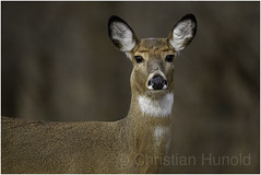 white-tailed deer (Christian Hunold) Tags: whitetaileddeer whitetaileddoe whitetail deer weiswedelhirsch johnheinznwr philadelphia christianhunold