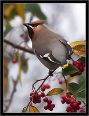 WAXWING (PHOTOGRAPHY STARTS WITH P.H.) Tags: waxwing nikon d4s 500mm afs vr teleconverter wimberley flash rig central park plymouth devon fill