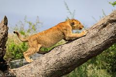 Ndutu Serengeti and Ngorongoro Safari 2019 (taharaja) Tags: fox ngorongoro seronera migration birds lakemanyara impala wildebeast vultures ndutu hunting jackal tribal wildebeest giraffe lions buffalo crater greatmigration nationalpark capebuffalo cheetah eagles zebra elephant wildlife gazelle warthogs masai rhino tanzania leopard mara serengeti hyena simiyuregion tz