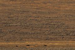 5 loups (Samuel Raison) Tags: loups loup wolf wolves wildlife nature animal animals animauxsauvages yellowstone yellowstonenationalpark yellowstonewildlife nikon nikond800 nikon4600mmafsgvr