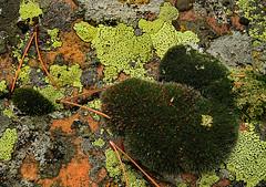 Moss and Lichen (arbyreed) Tags: arbyreed moss lichen close closeup green orange plants symbiosis