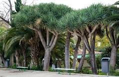 Dragon Trees (KPPG) Tags: trees baum nature natur valencia spanien spain park dragontree