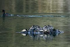 _DSC0772 (shoji imamura) Tags: japan tokyo spring bird pond machida yakushiike grebe parent child 薬師池 薬師池公園 親子 カイツブリ 野鳥 東京 町田 多摩 春