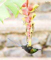 BRONZE SUNBIRD 1 (Nigel Bewley) Tags: bronzesunbird nectariniakilimensis heliconea tanzania africa wildlife nature wildlifephotography nigelbewley photologo appicoftheweek march march2019 safari gamedrive karatu bronzysunbird