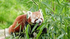 Panda Roux - 6665 (ΨᗩSᗰIᘉᗴ HᗴᘉS +56 000 000 thx) Tags: panda pandaroux red redpanda animal belgium europa aaa namuroise look photo friends be yasminehens interest eu fr party greatphotographers lanamuroise flickering pairidaiza