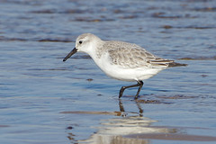K32P7178a Sanderling, Titchwell Beach, Fevruary 2019 (bobchappell55) Tags: titchwell beach norfolk wild bird wildlife nature wader sanderling calidrisalba feeding