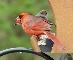 Northern Cardinal male_11Mar2019 (Bob Vuxinic) Tags: bird northerncardinal cardinaliscardinalis male hopperfeeder cumberlandplateau crossvilletennessee 11mar2019