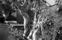 The Trunk (robbiemaynardcreates) Tags: bonsai tree massachusetts emily crozier robbie maynard creates chinese art black white photography ilford fp4 125 minolta xe5 35mm film portrait nature garden greenhouse analog bnw people orange cactus