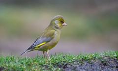 Groenling - Greenfinch - Carduelis chloris -8222 (Theo Locher) Tags: birds groenling oiseaux vogels vögel netherlands nederland copyrighttheolocher grünling verdierdeurope greenfinch carduelischloris
