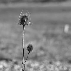 Bristled thistle (Bearded_Photomaniac) Tags: shadow outdoors outside flickr blackwhite bw monochromatic monochrome mono bnw blackandwhite