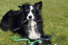 A Happy Snake Free St Patrick's Day (ASHA THE BORDER COLLiE) Tags: st patricks day snake free funny dog picture border collie ashathestarofcountydown connie kells county down photography