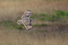 0M2A6250 Short-eared Owl (kevin_livesey) Tags: