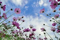 Cosmos (Vincent_Ting) Tags: cosmos 玻斯菊 藍天 雲 花田 sky blue field