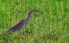 Chinese pond heron in grass (Robert-Ang) Tags: chinesepondheron heron bird animal wildlife nature animalplanet chinesegarden singapore