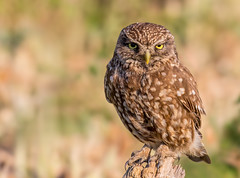 Excuse Me! (Andy Morffew) Tags: littleowl owl perched staring stare hungary andymorffew morffew bird naturethroughthelens