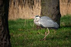 Gray Heron on the prowl (THW-Berlin) Tags: herons birds animals vögel tiere reiher graureiher aves sony alpha6500