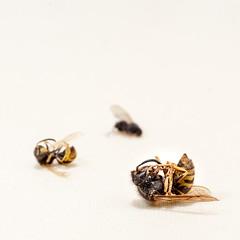 Nature Morte IV (Mikael Neiberg) Tags: fly bee wasp dead death kenko2xmacroteleplusmc7 leicamacroelmaritr60mm28 nikond700 lightbox lighttent ecosystem pollination