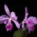 [Brazil] Cattleya warneri T.Moore ex R.Warner, Select Orchid. Pl.: t. 8 (1862)