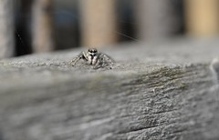 Jumping Spider - Salticus sp. (willjatkins) Tags: wildlife nature spider spiders europeanwildlife europeanspiders arachnids arachnid arachnidsofeurope jumpingspider salticus salticidae zebraspider eyes spidereyes ukwildlife ukspiders ukspider britishwildlife britishspiders britisharachnids britisharachnid macro macrowildlife closeupwildlife closeup nikond610 nikon sigma105mm