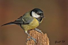 GREAT TIT //  PARUS  MAJOR (14cm) (tom webzell) Tags: naturethroughthelens