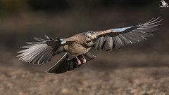 Jay On Final Approach (Mick Erwin) Tags: jay coming land into flying bif inflight nikon afs 600mm f4e fl ed vr lens d850 mick erwin stoke trent staffordshire wildlife nature jays eurasianjay jaybird eurasian garrulus glandarius corvid