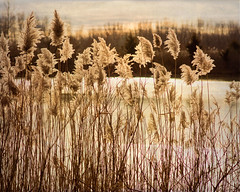 Blowing in the wind... (bonnie5378) Tags: conservationarea jan2019 reeds