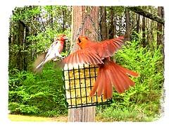 cardinal (Viper 62) Tags: cardinal april 2019 spring primos alabama usa america wildlife backyard