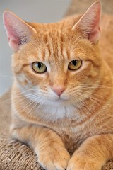 A Beauty... (catherine4077) Tags: cat spca ginger volunteer donate adopt winchester virginia