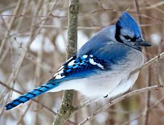 The deep freeze (Meryl Raddatz) Tags: bird blue bluejay nature naturephotography wildlife canada winter