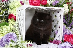 Black Persian Kitten (dollfacepersiankittens.com) Tags: black kittens cats persian for sale doll face cutekittenpictures cutecatpictures cutekittens cutecats photography animals pets kitty kitten cat