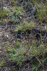 2018-04-17 TEC-5551 cf. Bouteloua scabra  - E.P. Mallory (B Mlry) Tags: tec belize belizedistrict belizezoo flora ostzoofootpath poaceae tbz tropicaleducationcenter democracia boutelouascabra
