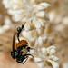 2012-08-04 TEC-130 Trigona cf. fulviventris robbing Schippia concolor flower buds - E. P. Mallory