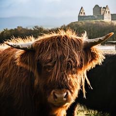 Coo (amcgdesigns) Tags: andrewmcgavin otherkeywords animal castle highlandcoo oldbuildings ruin