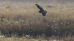 highlights of the day (blackfox wildlife and nature imaging) Tags: nikon d300s sigma150600c bif birdsofprey shortearedowl malehenharrier parkgate wirral
