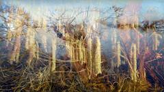 Bildschichten Am Fluss 26 Wieltsee (wos---art) Tags: bildschichten fluss river wasser water unterwasser underwater gestrüpp bäume baum verbrand ausgehöhlt rus äste ufer