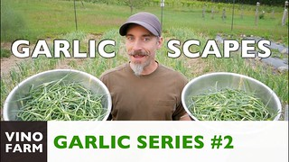 Check out this vino farm video for homegrown garlic tips