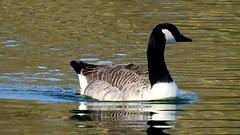 DSCN8325 oiseau aquatique 12 (lac oie bernache du Canada nage) Montesson (jeanchristophelenglet) Tags: montessonfranceparcdépartementaldelaboucledemontessonétangdel'epinoche laceau lakewater lagoagua oiebernacheducanada canadagoose gansocanadense