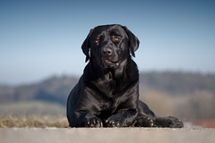 spring feelings (uwe.kast) Tags: labrador labradorretriever labradorredriver hund haustier dog spring bichou panasonic lumix g9