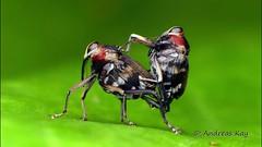 Weevils from Ecuador mating (Ecuador Megadiverso) Tags: weevil hoplocopturus ecuador amazon rainforest tropic curculionidae beetle mimic fly andreaskay video