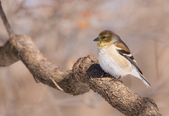 American Goldfinch - female (Lynn Tweedie) Tags: wood beak tail wing canon ngc animal female 7dmarkii missouri americangoldfinch tree sigma150600mmf563dgoshsm bird eos feathers eye branch