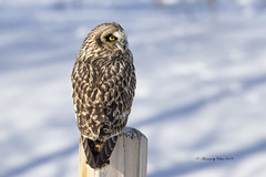 Short-Eared Owl Close-up (Canon Queen Rocks (2,715,000 + views)) Tags: owl owls closeup snow wildlife wings wild winter white post perched bird birds birdsofprey birdofprey raptors eyes feathers shortearedowl canada alberta