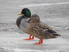 Male and Female Mallard Ducks (Anton Shomali - Thank you for over 2 million views) Tags: beauty beautiful bigbird wife husband flickr picture photography photo female mrs mr maleandfemale male mallard ducks chicago water big birds swim blue sea bird icy river icyriver kankakee wilmington illinois route 66 route66 cold