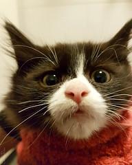 20170810 21.02.04c (Fantasyfan.) Tags: yllatyspennut rekku rescue kitten fantasyfanin